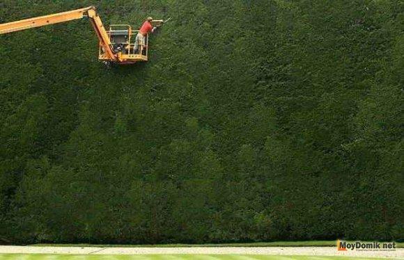 Самая высокая живая изгородь в Англии - более 15 метров, возраст более 300 лет