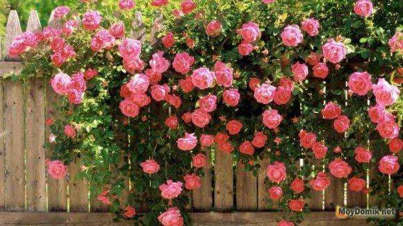 Живая изгородь из вьющейся розы