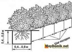 Схема посадки живой изгороди из туи