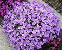 мyosotis alpestris или незабудка альпийская