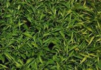 альтернантера «Aurea nana»