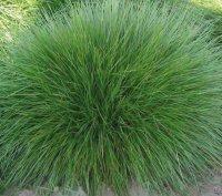 овсяница красная (газонная трава)