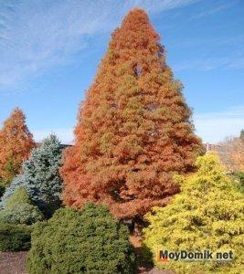 Хвойные деревья и кустарники осенью в саду