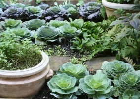 Декоративный огород с капустой