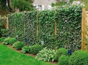 Озеленение плетущимися или вьющимися растениями забора из рабицы