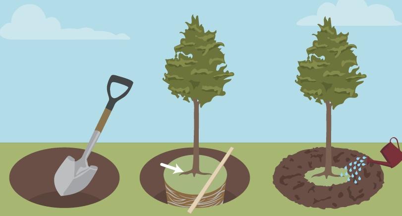 Когда сажают яблони: время и правила посадки