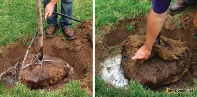 Посадка дерева с земляным комом