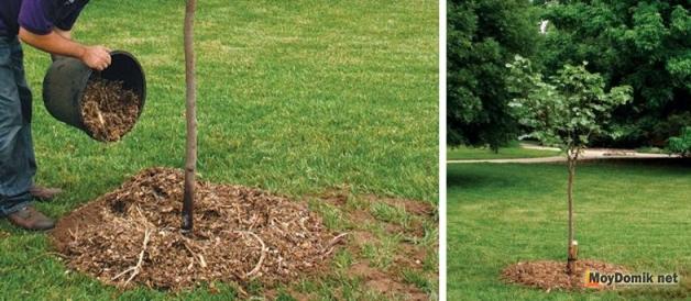 После посадки деревья мульчируют