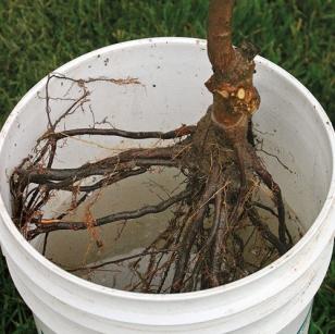 Открытая корневая система должна храниться во влажности