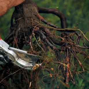 Подрезка корней