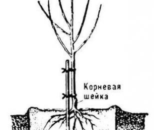 Корневая шейка саженца - схема