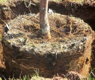 Корневая шейка саженца - вид на деревце