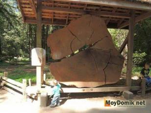 Гигантский срез дерева