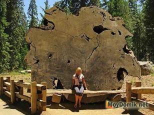 Спил дерева невероятных размеров