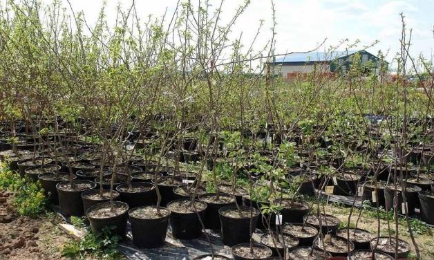 Cаженцы плодовых деревьев - продажа в питомнике